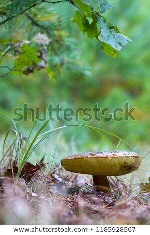 champignon · witte · bos · natuur · dood · hoofd - stockfoto © romvo