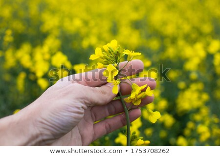 farmer inspecting and holding rapeseed crop in field stock photo © simazoran