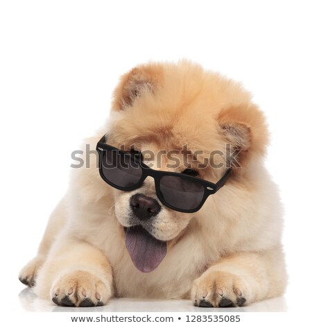 happy chow chow wearing sunglasses panting and lying Stock photo © feedough
