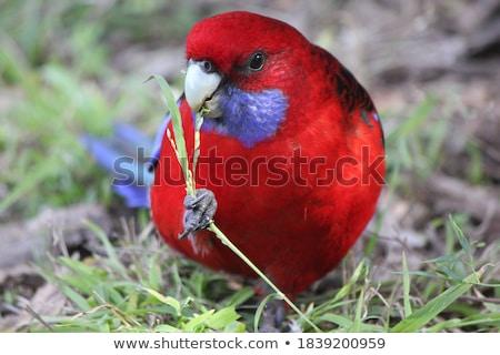 Crimson Rosella Eating Stock photo © THP