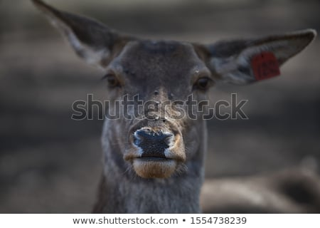 deer stock photo © colematt