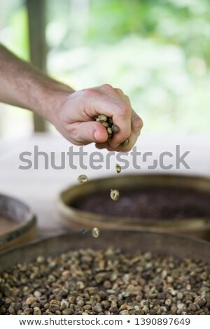 Hand holding raw Kopi Luwak coffee beans on coffee farm Stock photo © boggy