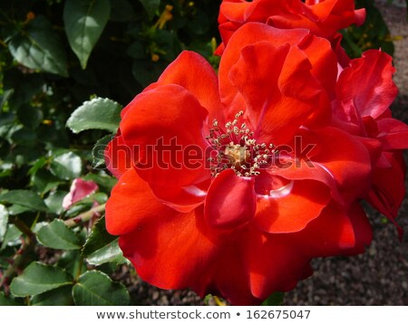 Stock photo: bunch of flowers, red roses and white lys