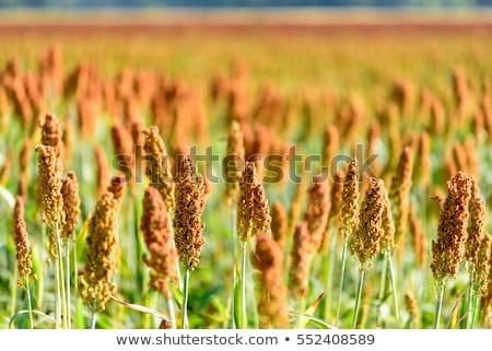 Veld hemel Blauw landbouw graan maaltijd Stockfoto © stoonn