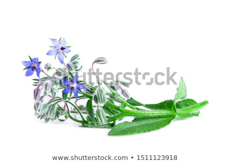 Borage (Borago officinalis) Stock photo © rbiedermann
