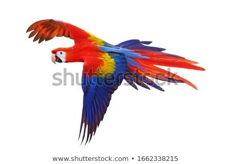 scarlet macaws, parrot Stock photo © REDPIXEL
