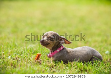 brown pinscher dog playing with bone Stock photo © lunamarina