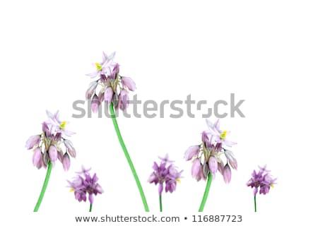 Avustralya kır çiçekleri vanilya zambak kır çiçeği Stok fotoğraf © byjenjen