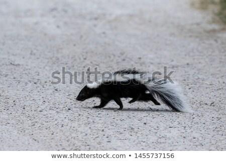 Skunks uruchomiony w dół preria saskatchewan Zdjęcia stock © pictureguy
