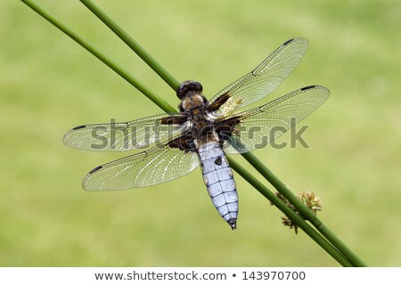 dragonfly   broad bodied chaser stock photo © mobi68