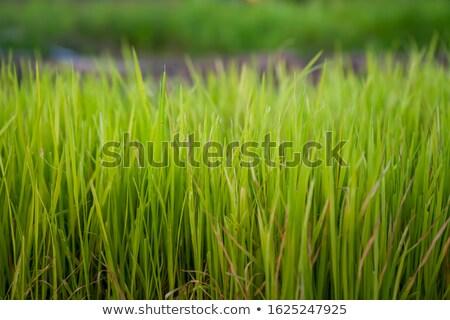 зеленый риса растений орошение весны полях Сток-фото © lunamarina