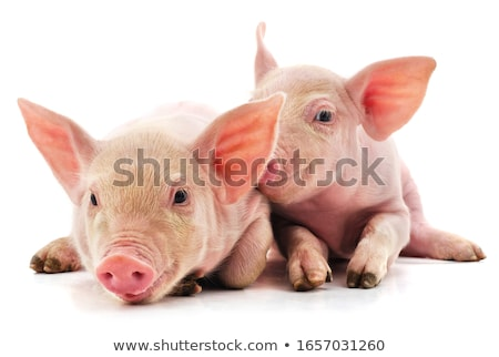 Smiling Piglet Stock photo © derocz