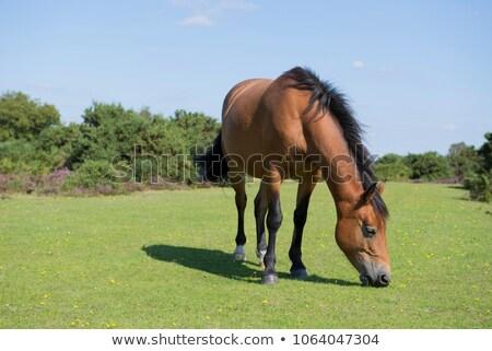 新しい · 森林 · ポニー · 白 · 種馬 · 公園 - ストックフォト © nelsonart