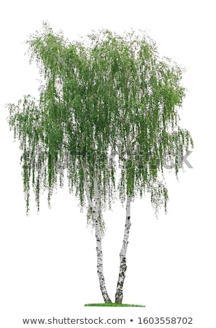 isolated silver birch on a white background Stock photo © Zerbor