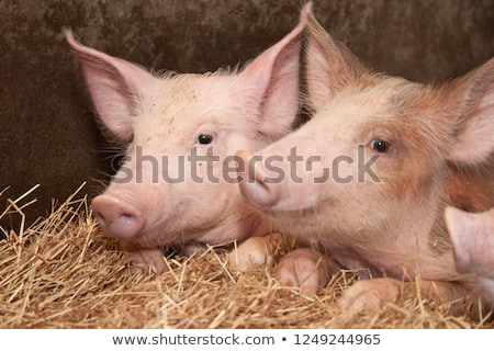 Kettő kicsi malacok fiatal aranyos rózsaszín Stock fotó © Johny87