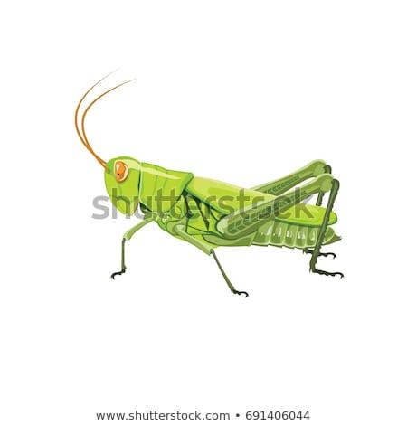 グラスホッパー · 昆虫 · 孤立した · 白 · 草 · 緑 - ストックフォト © rob_stark
