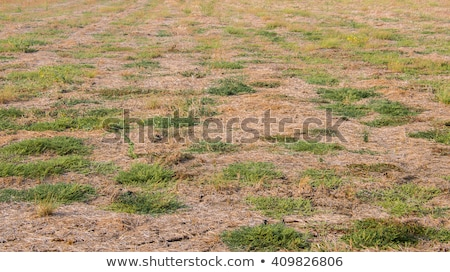 forest lawn with green and dry grass stock photo © tashatuvango