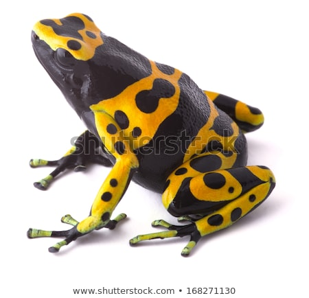 black and yellow tropical poisonous frog of the rain forest stock photo © alessandrozocc