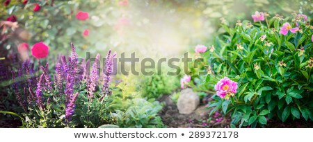 Flowerbed with sage flowers Stock photo © ozaiachin