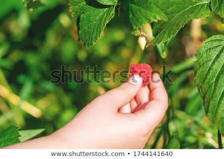 hand harvesting one raspberry stock photo © simply