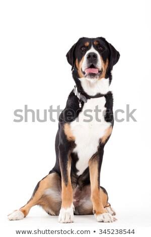 Stok fotoğraf: Oturma · beyaz · mutlu · köpek · stüdyo · portre