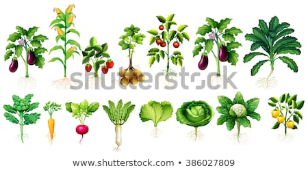 beaucoup · légumes · laisse · racines · illustration · fond - photo stock © bluering