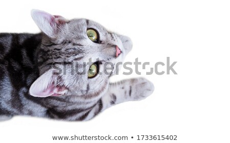 Back view of gray cat. Stock photo © iofoto