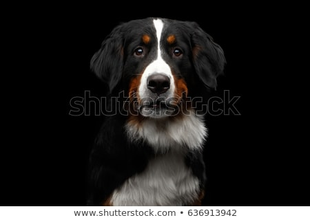 черный собака портрет белый студию расслабляющая Сток-фото © vauvau