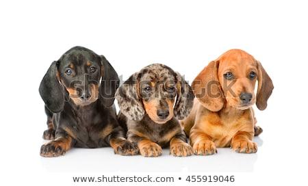 kutyakölyök · tacskó · portré · sötét · stúdió · boldog - stock fotó © vauvau