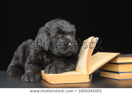 Miniature Schnauzer portrait  in a dark studio background Stock photo © vauvau