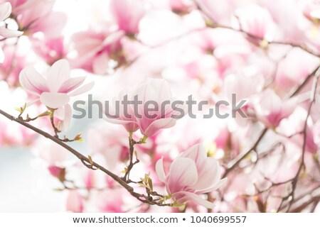 belo · magnólia · flor · primavera · tempo · branco - foto stock © joyr