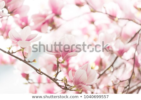 magnolia · flores · completo · florecer · primavera · árboles - foto stock © joyr