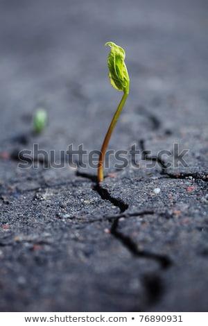 planta · crescente · secar · rachado · solo · plântula - foto stock © digifoodstock