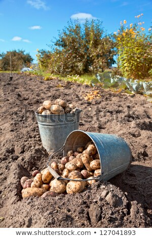 First crop potatoes Stock photo © naffarts