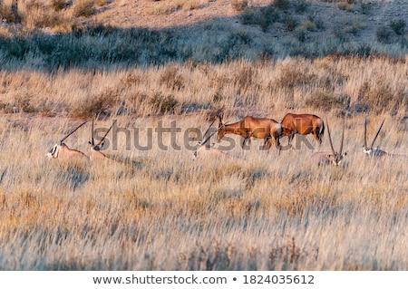 Rood · woestijn · South · Africa · dier · mannelijke · afrikaanse - stockfoto © simoneeman