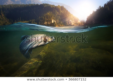 eau · douce · saumon · isolé · blanche · mer · fond - photo stock © karandaev