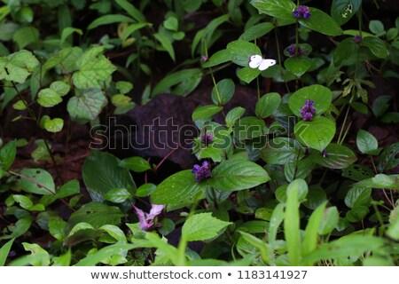 Butterflies flying around flower garden Stock photo © bluering
