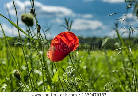 yalnız · çiçek · kırmızı · haşhaş · mavi · gökyüzü - stok fotoğraf © fogen