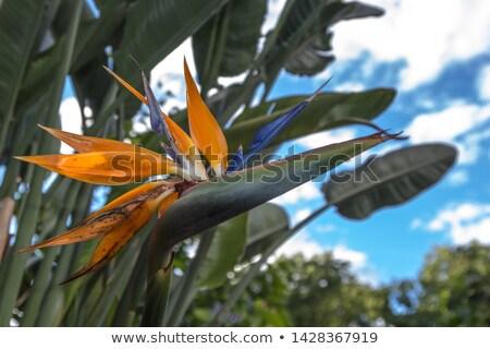 Bird of paradise flower (Strelitzia reginae) isolated on white b Stock photo © homydesign