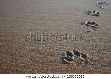 Dog paw print in sand Stock photo © 5xinc