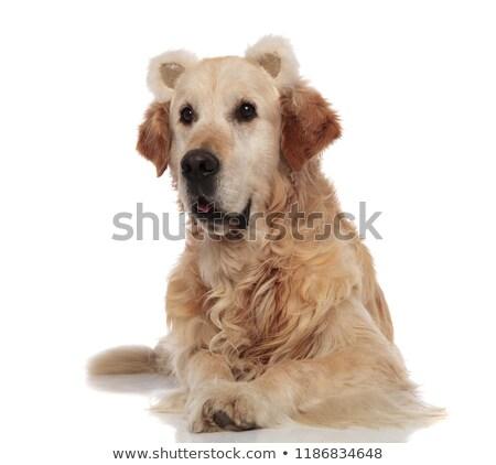 Ciekawy golden retriever puszysty ponosi kłosie Zdjęcia stock © feedough