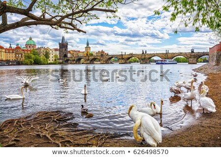 charles bridge and swans stock photo © givaga