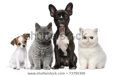 kitten · exotisch · korthaar · witte · kat · jonge - stockfoto © cynoclub