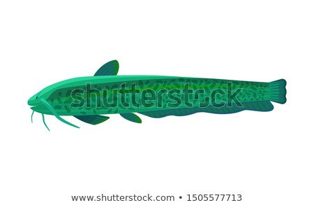 Stinging catfish aquarium fish isolated on white Stock photo © robuart