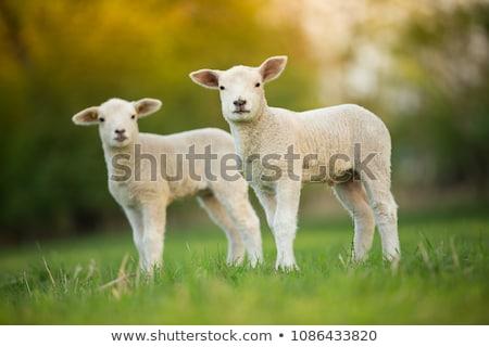 Cute cordero naturaleza verde granja Foto stock © stevanovicigor
