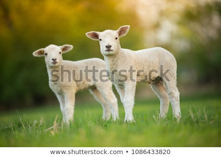 Cute lamb Stock photo © stevanovicigor