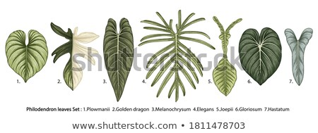 Philodendron Melanochrysum Leaf Hand Drawn Vector Stock photo © pikepicture