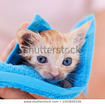 Mokro imbir kotek wyschnięcia niebieski ręcznik Zdjęcia stock © ilona75