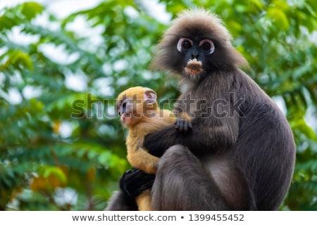 лист · обезьяны · портрет · Cute · лице - Сток-фото © smithore