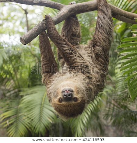Two toed sloth hanging in tree Stock photo © Hofmeester